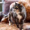 Sheepskin pet rug - cat shown_thumb